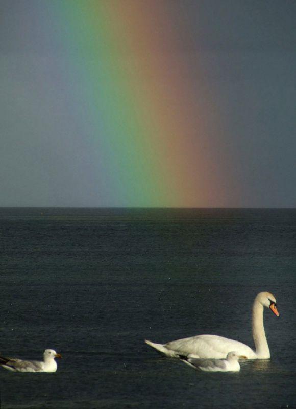 Swan and Rainbow
