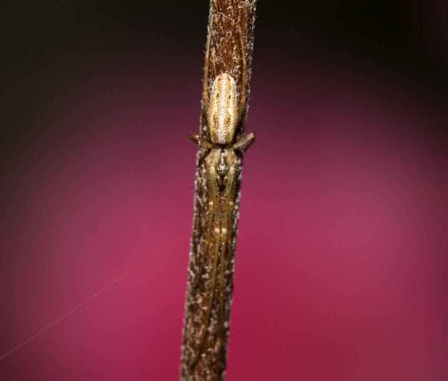 Spider - Tetragnatha extensa