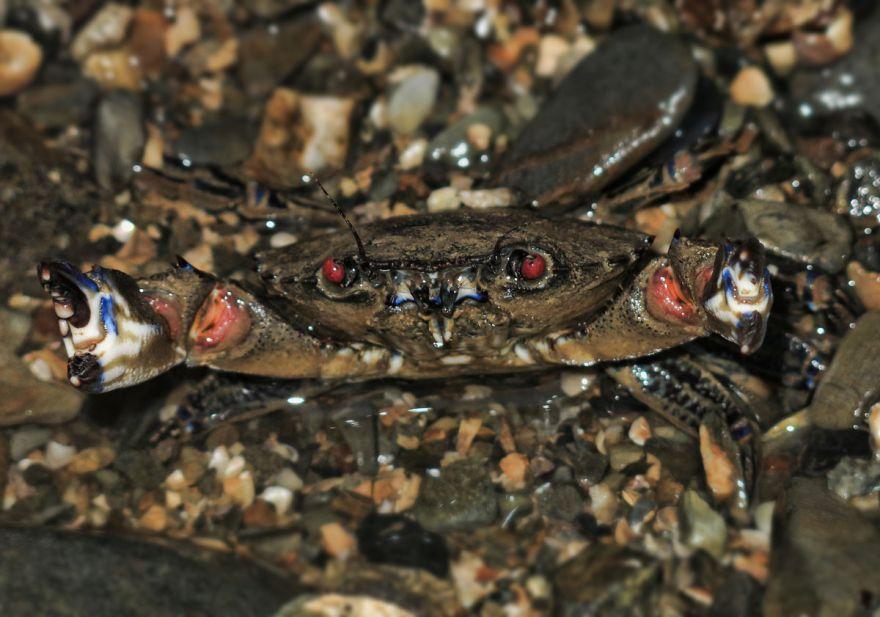 Red-eyed crab