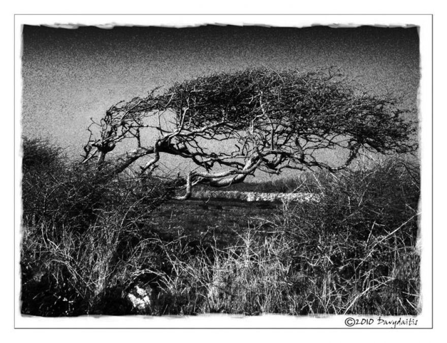 west penwith tree